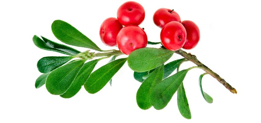 Bearberry: is it good for your health - WeMystic UK